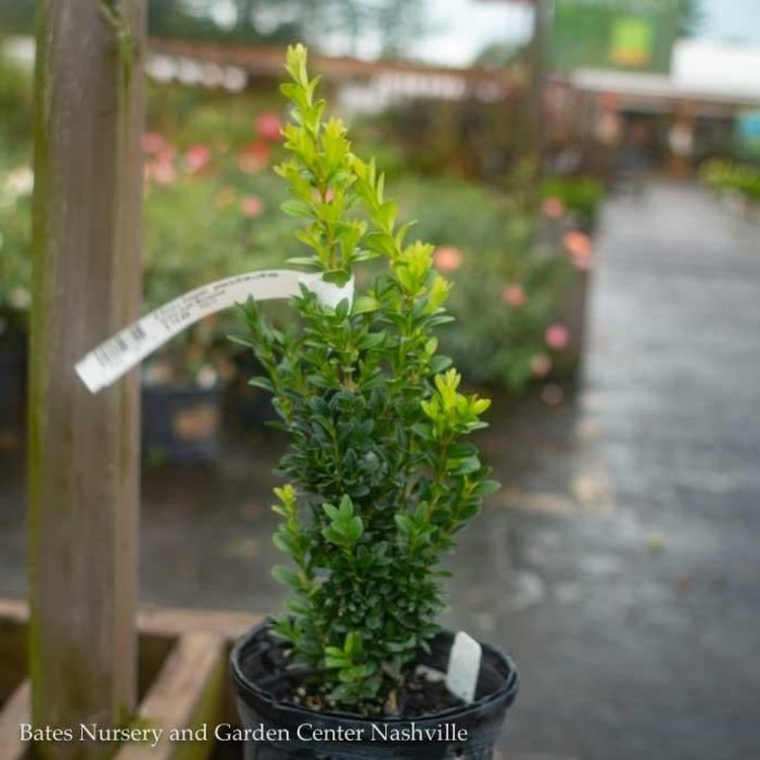 #1 Buxus x 'Krazgreen'/Green Ice Boxwood