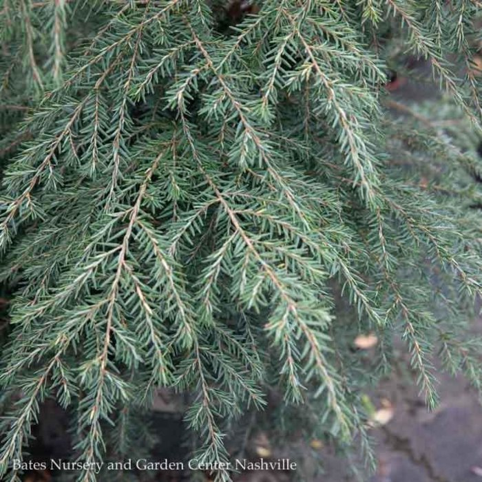 Non-Warranted 7-8ft Tsuga canadensis/Canadian Hemlock