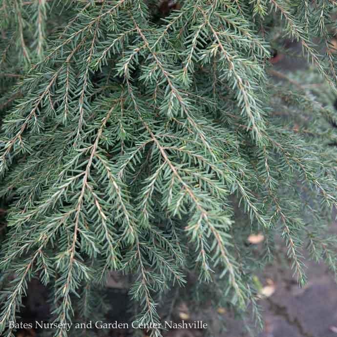 Non-Warranted 7-8ft Tsuga canadensis/Canadian Hemlock