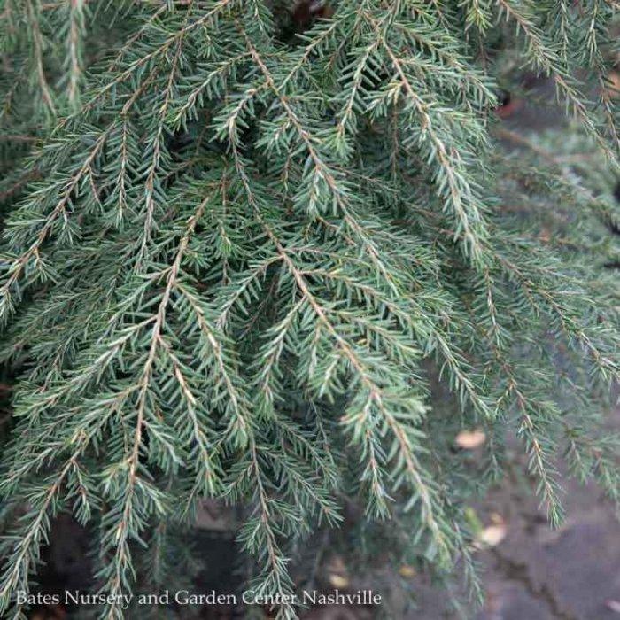 Non-Warranted  5-6ft Tsuga canadensis/Canadian Hemlock