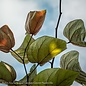 #5 Cercis can Burgundy Hearts/Redbud Purple Foliage