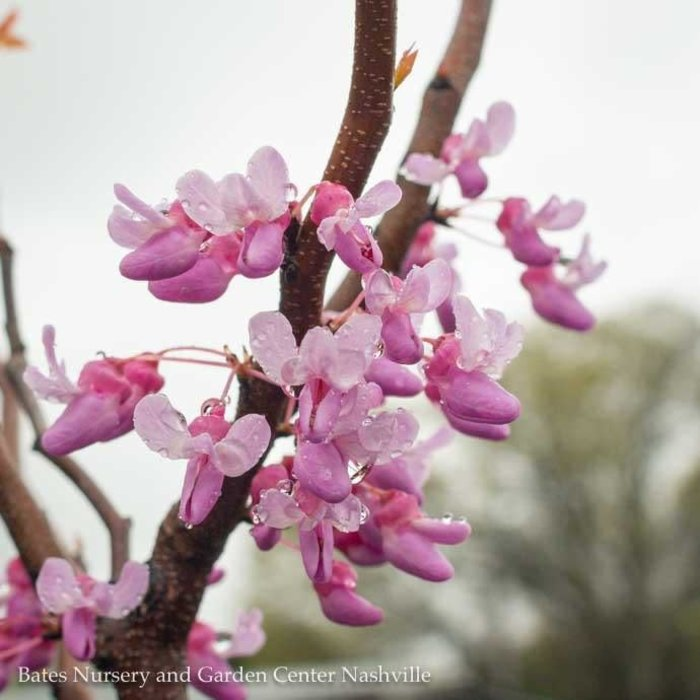 #5 Cercis can Hearts of Gold/Redbud Chartreuse Foliage