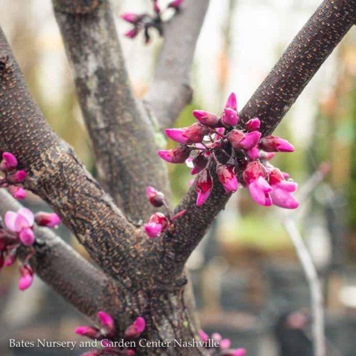 #5 Cercis can x tex Merlot/Redbud Purple Foliage