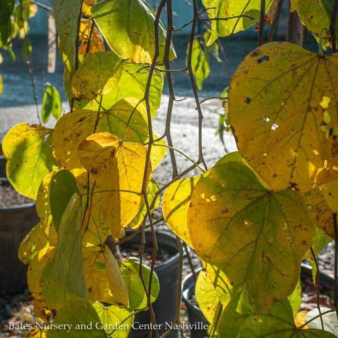 #15 Cercis Golden Falls/Gold Weeping Redbud