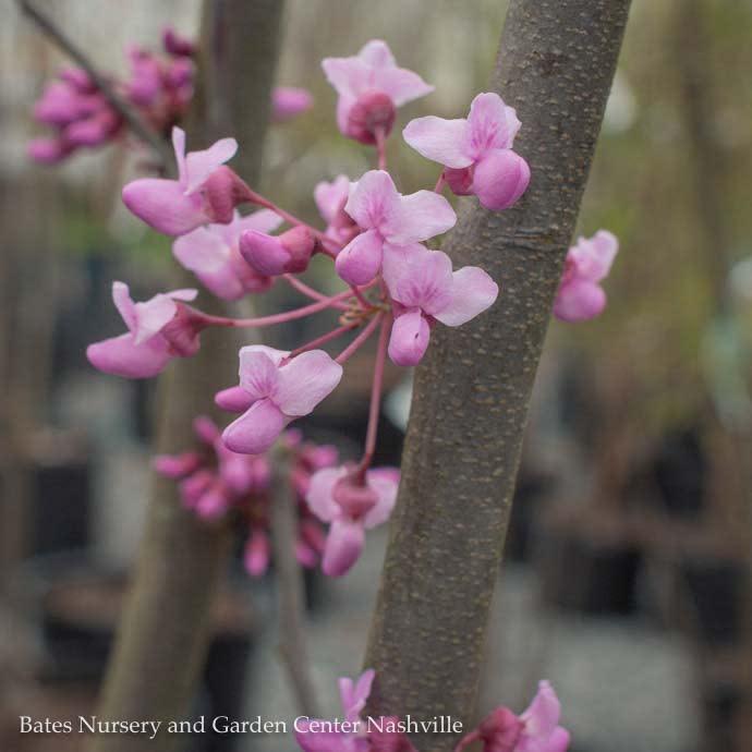#25 Cercis canadensis/Eastern Redbud Multi Stem