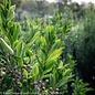 #15 Prunus Bright n Tight/Carolina Upright Laurel