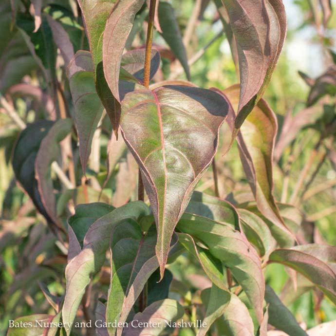 #6 Cornus kousa Scarlet Fire/Dogwood Pink