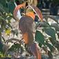 #25 Cornus florida Cherokee Brave/Red Flowering Dogwood