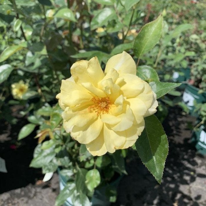 #3 Rosa x 'Golden Showers'/Climbing Rose Yellow NO WARRANTY