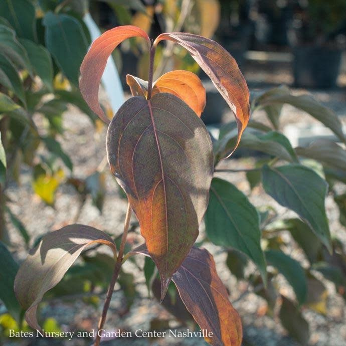 #15 Cornus florida Cherokee Brave/Flowering Dogwood Red