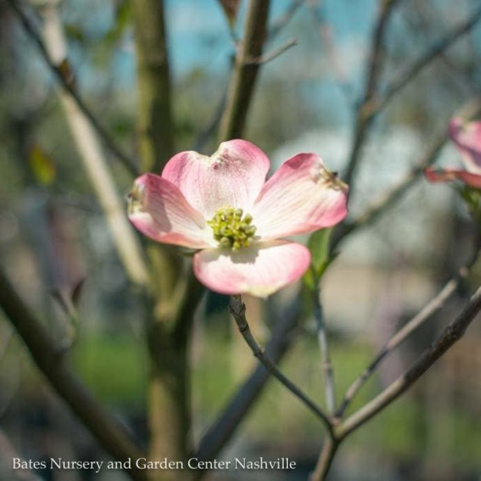 #5 Cornus florida 'Pink'/Pink Flowering Dogwood