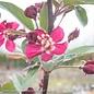 #7 Malus 'Robinson'/Dark Pink Crabapple