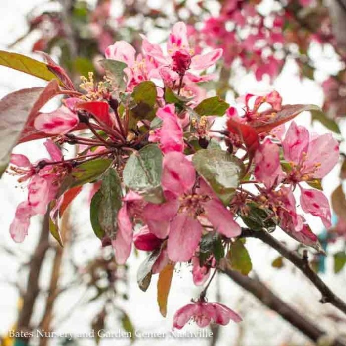 #7 Malus 'Profusion'/Pink Crabapple