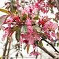 #7 Malus 'Profusion'/Pink Crabapple