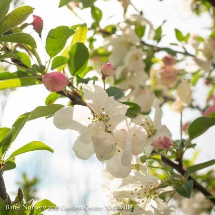 #15 Malus Sugar Tyme/White  Crabapple