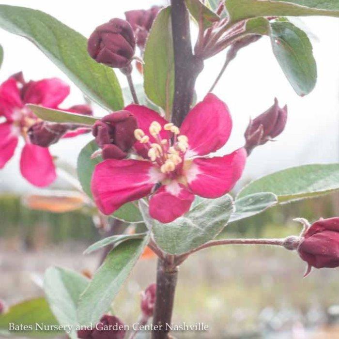 #5 Malus 'Robinson'/Dark Pink Crabapple