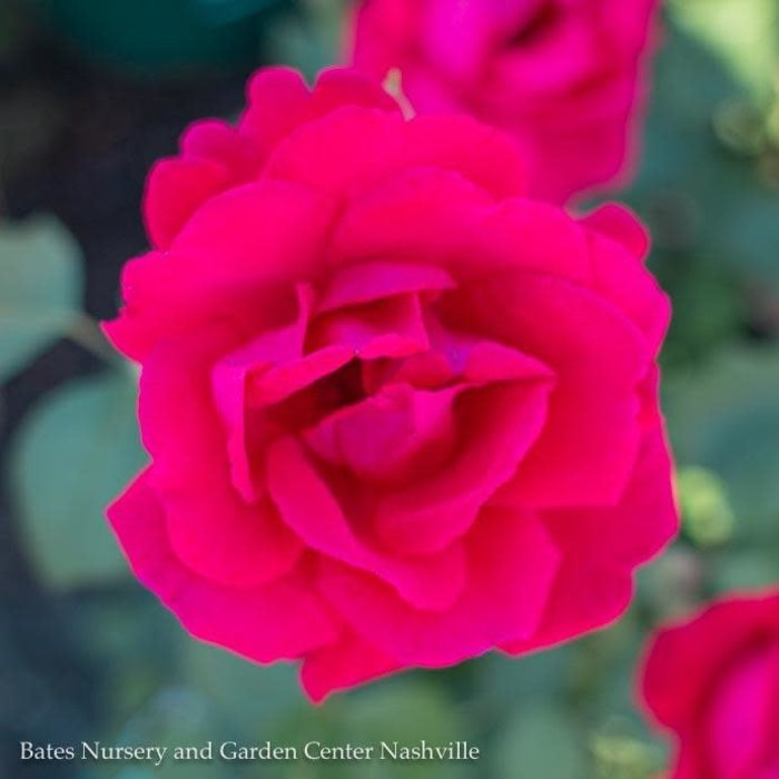 #5 Rosa Blaze Improved/Climbing Rose NO WARRANTY