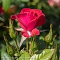 #2 Rosa Ruby Ruby/Miniature Rose No Warranty