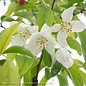 #5 Malus 'Spring Snow'/White Crabapple