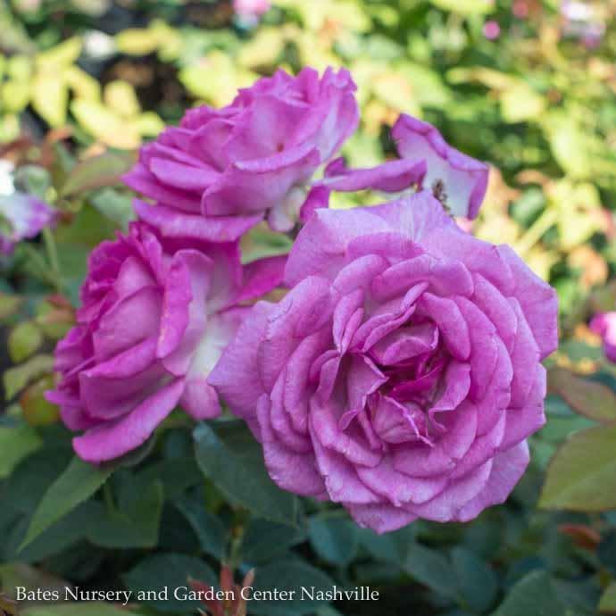#3 Rosa Life's Little Pleasures/Miniature Lavender Rose  No Warranty