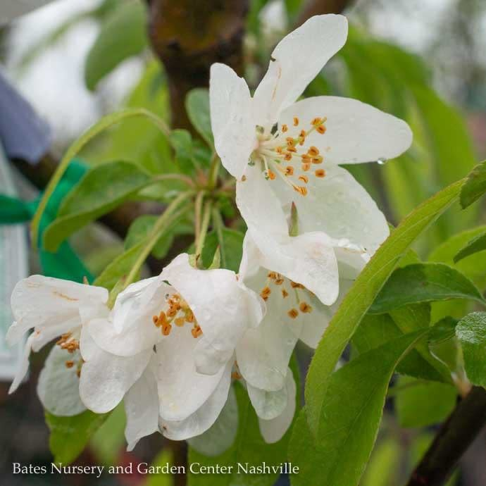 #5 Malus Harvest Gold/White Crabapple Yellow Fruit