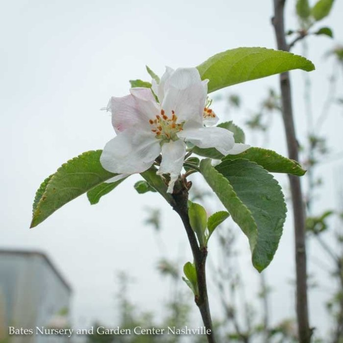 Edible #5 Malus Wolf River/Apple Semi-dwarf MidSeason