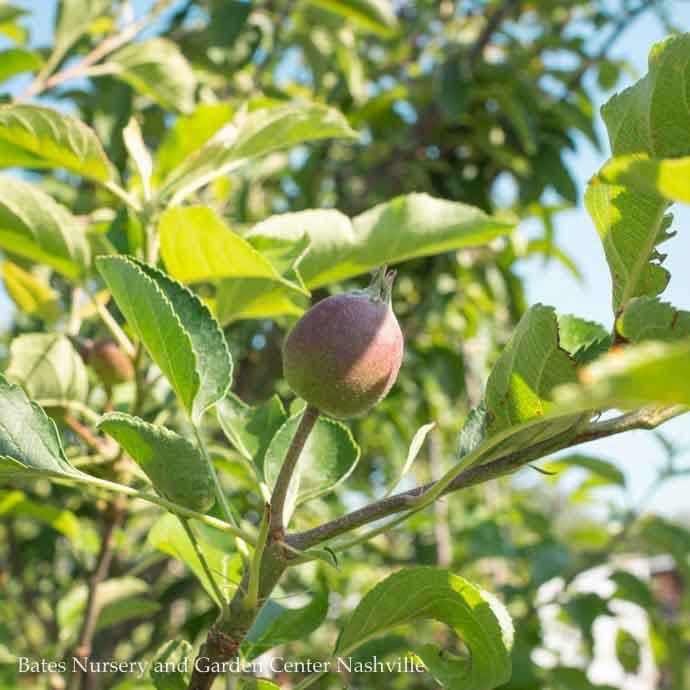 Edible #7 Malus Golden/Yellow Delicious/Apple Semi-dwarf MidSeason