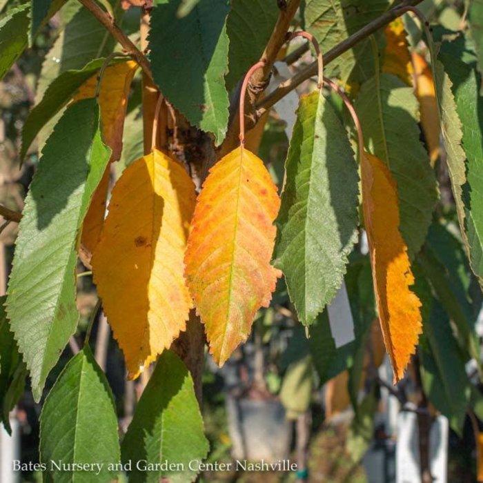 Edible #10 Prunus x Bing/Cherry No Warranty