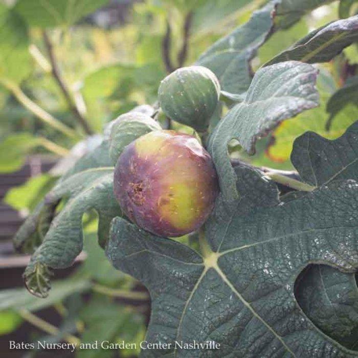 Edible #3 Ficus Chicago Hardy/Fig NO WARRANTY