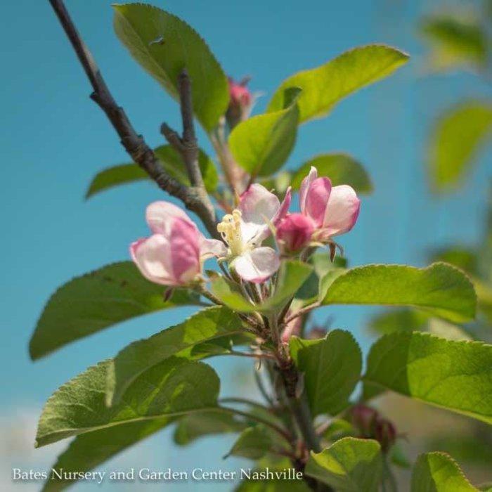 Edible #7 Malus Cortland/Apple Semi-Dwarf