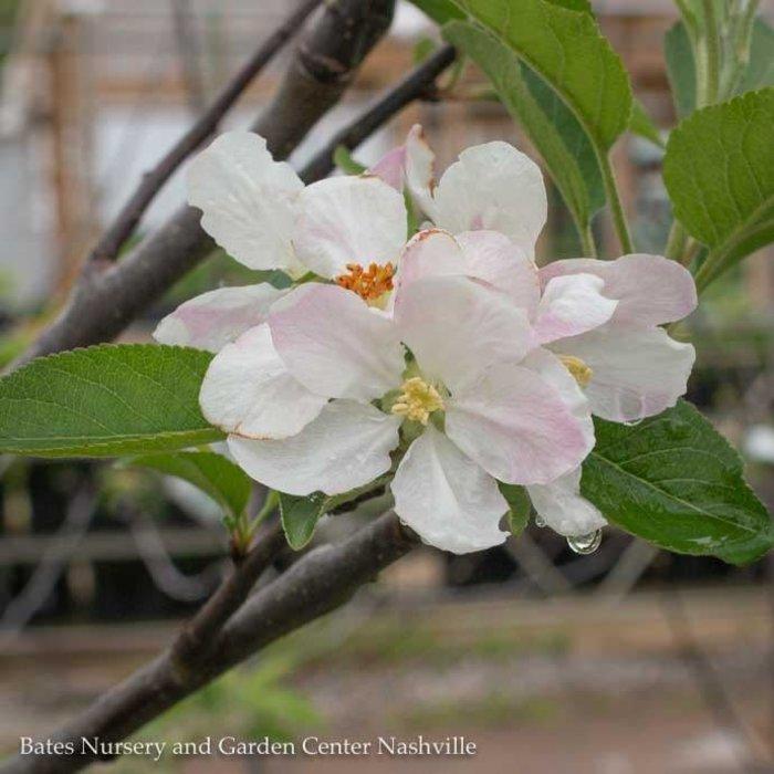 Edible #7 Malus Arkansas Black/Apple Semi-dwarf MidSeason