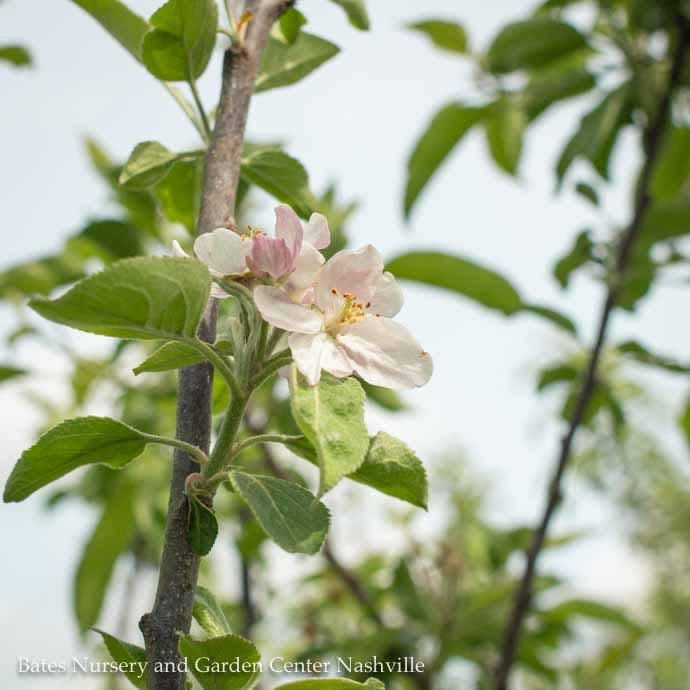 Edible #5 Malus Cortland/Apple Semi-Dwarf