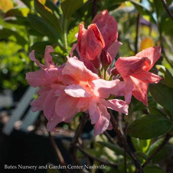 #2 Azalea Exbury Sunset Pink/Deciduous