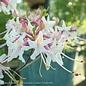 #3 Rhododendron canescens/Piedmont Deciduous Azalea