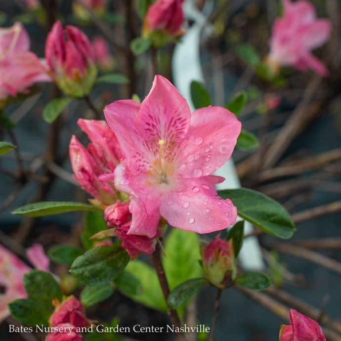 #3 Azalea kurume Pink Pearl/Bright Pink