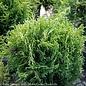 #5 Thuja occ Hetz Midget/Arborvitae Globe