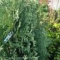 #6 Thuja occ Rushmore/Arborvitae Columnar