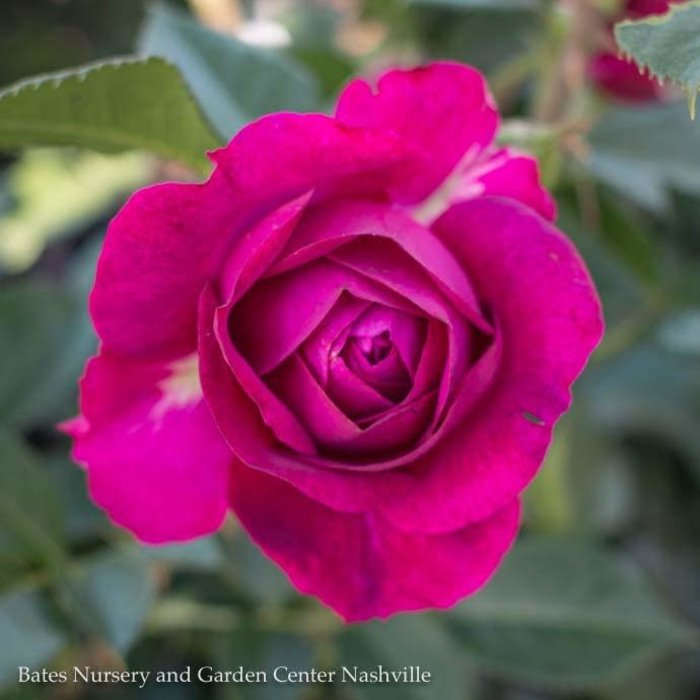 #3 Rosa Celestial Night/Purple Floribunda Rose  No Warranty