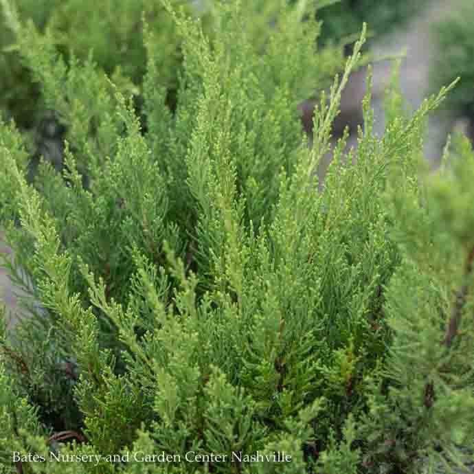 #2 Juniperus x pfitz Kallay's Compact/Pfitzer Juniper Spreading