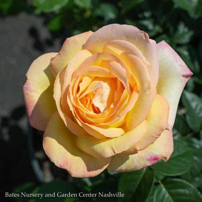 #3 Rosa Peace/Hybrid Tea Rose Yellow NO WARRANTY