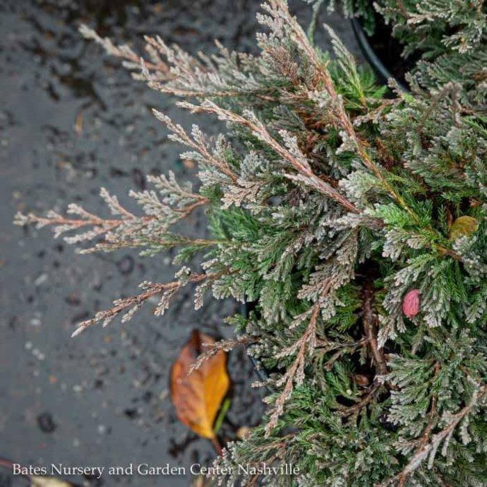 #1 Juniperus horiz Blue Chip/Creeping Juniper