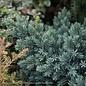 #5 Juniperus squa Blue Star/Juniper Mounding
