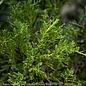 #1 Juniperus chin Daubs Frosted/Chinese Juniper Spreading
