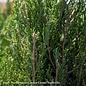 #10 Juniperus chin Spartan/Chinese Juniper Upright