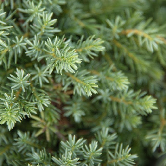 #1 Juniperus con Blue Pacific/Shore Juniper Creeping