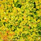 #2 Berberis thunbergii SMBTJ/Golden Jackpot Barberry