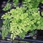 6p! Fern - Maidenhair Fern Asst /Tropical