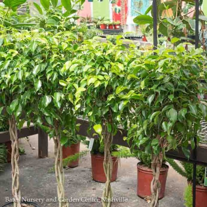10p! Ficus Benjamina Braid /Tropical