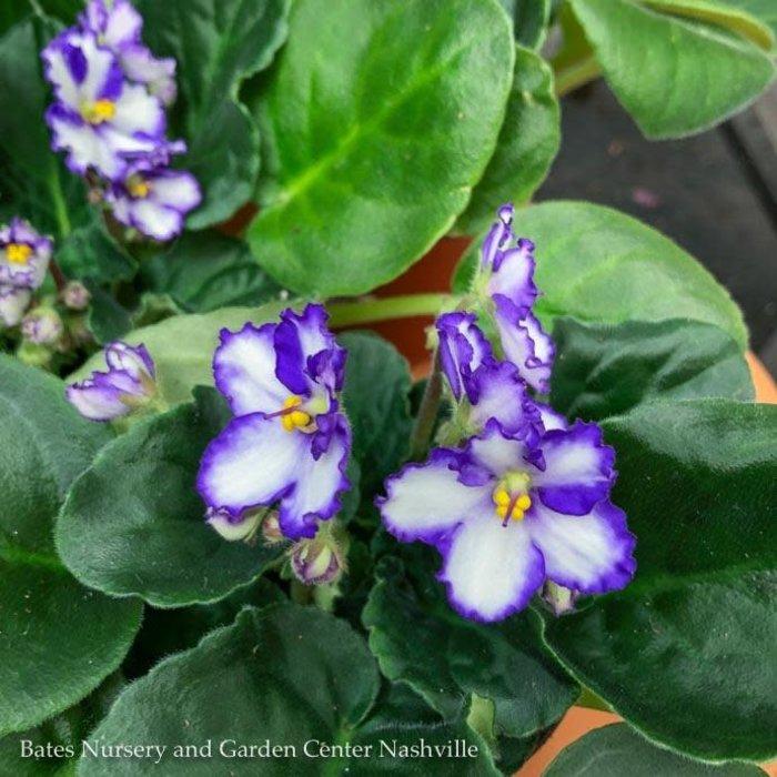 4p! African Violet Premium Asst /Tropical