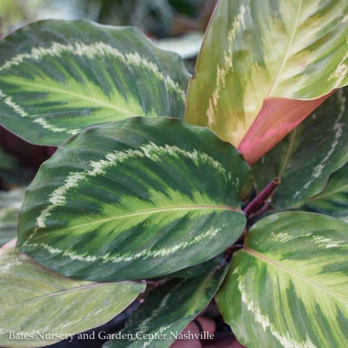 6p! Calathea Asst / Peacock Plant /Tropical